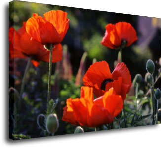 Poppies photographed by Andrew McCartney.