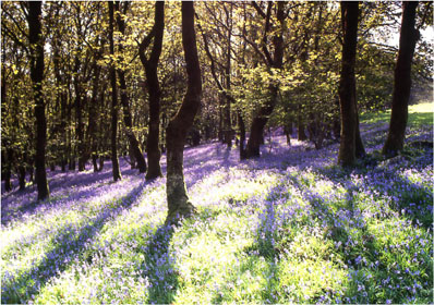 Bluebell wood photographed by Andrew McCartney.