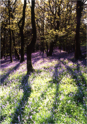 Bluebell wood shadows by Andrew McCartney.